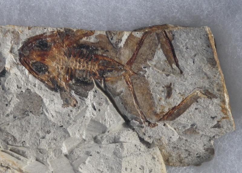 カエルの化石