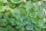 シャクシゴケ(Cavicularia densa...