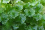 ウスバゼニゴケ(Blasia pusilla)