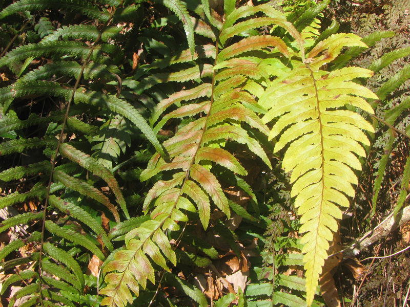 シダ植物>フモトシダ