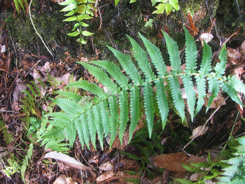 シダ植物>オクマワラビ